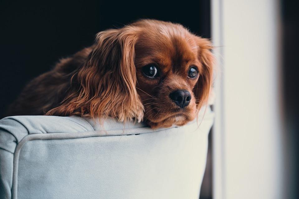 cavalier dog image