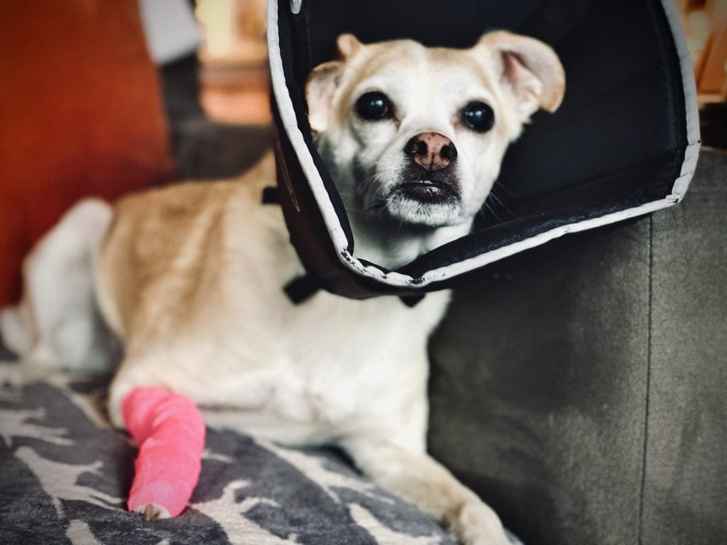 Dog in Pain after surgery